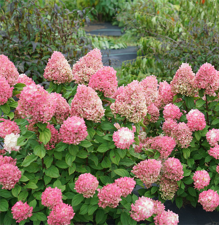 Little Punch Hydrangea with pink blossoms