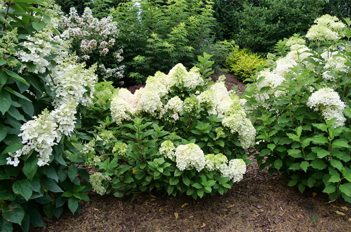 Little Lime Punch Hydrangea with white and green blossoms